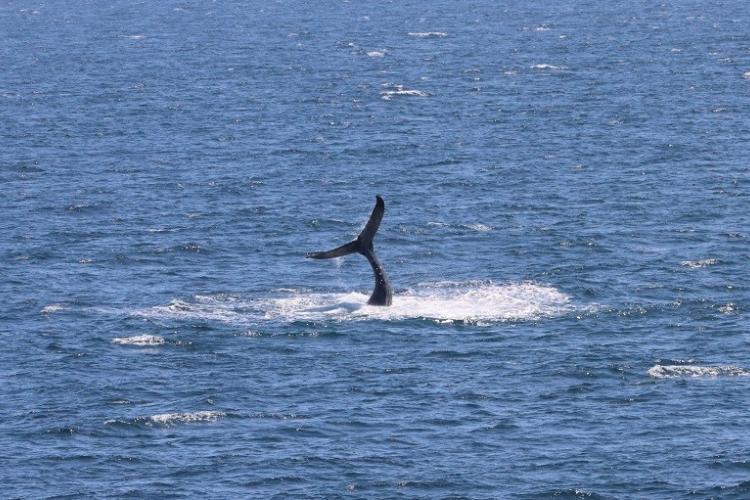 A humpback whale fluke slapping. Credit: Dawn Barlow