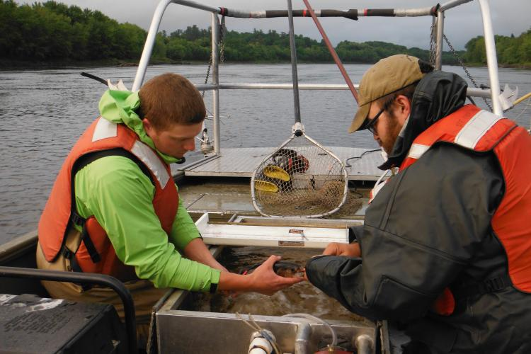 Researchers on boat hold a shad between them, while on inserts a tag into the fish.