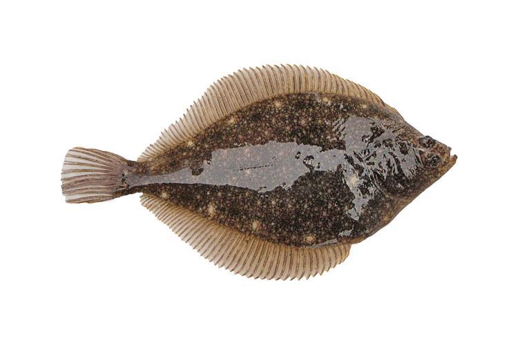 A photo of an Alaska plaice.