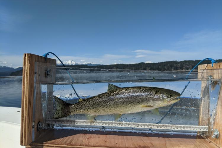 Measuring the length of a Coastal Cutthroat Trout from the Hood Canal.