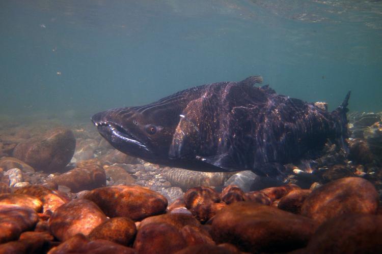 Adult male chinook salmon swimming underwater