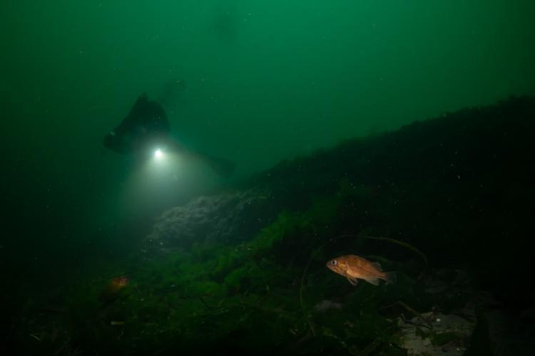 Diver underwater illuminating rockfish with handheld light