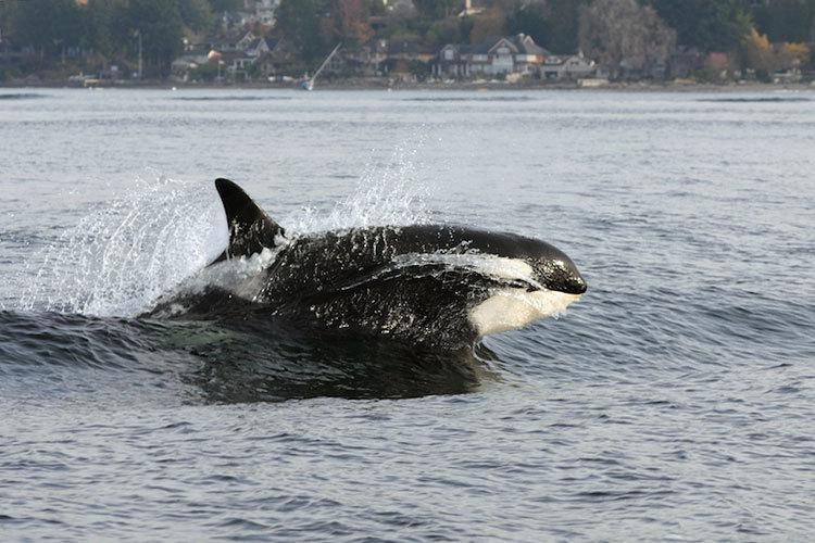 Killer whale splashing through water