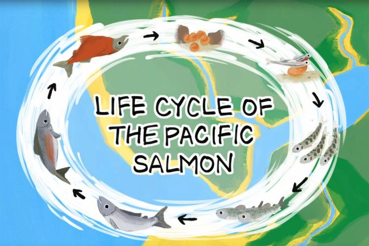 Title image for Life Cycle of the Pacific Salmon animation