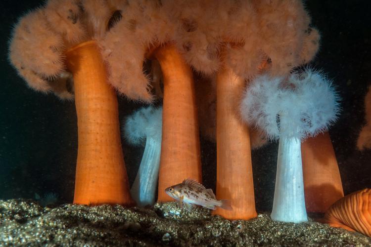 Rockfish beneath Metridium anemones