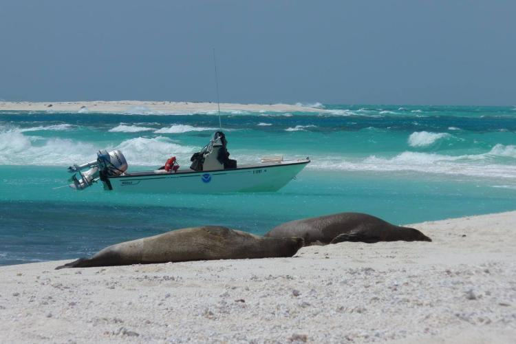 Two Hawaiian monk seals on beach with research boat in water.