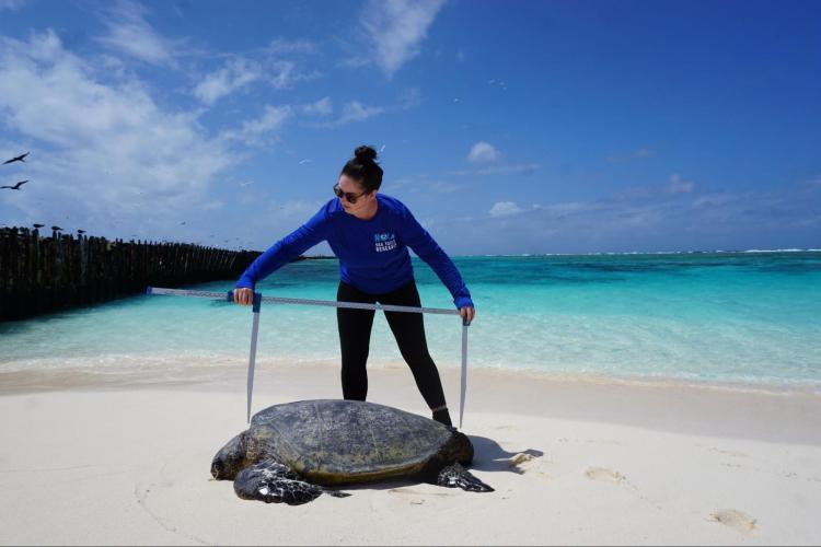 NOAA biologist measuring green sea turtle.