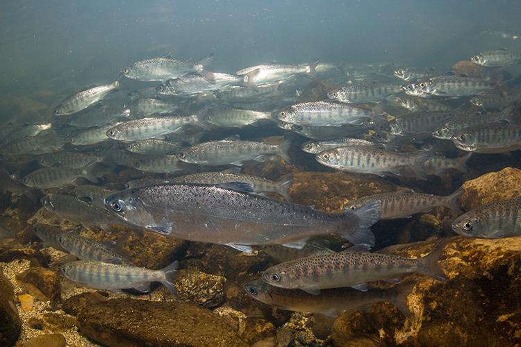 Underwater photo of dozens of juvenile salmon
