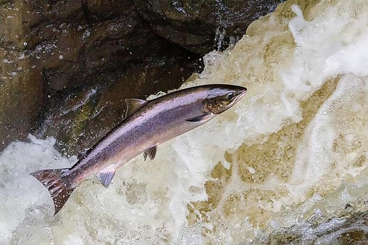 A fish leaping above fast-moving water