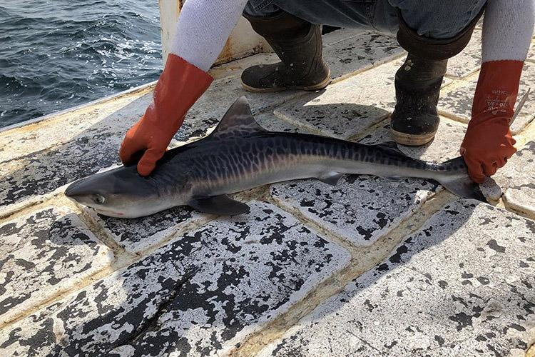 An approximately 3-foot-long small shark is laid belly down on the deck of a vessel by a scientist wearing thick rubber boots and gloves. The shark's eye and top (dorsal) and side (pectoral) fins are clearly visible. The shark is light colored on its belly side and has a pattern of dark and light gray colors on its body that look like stripes.