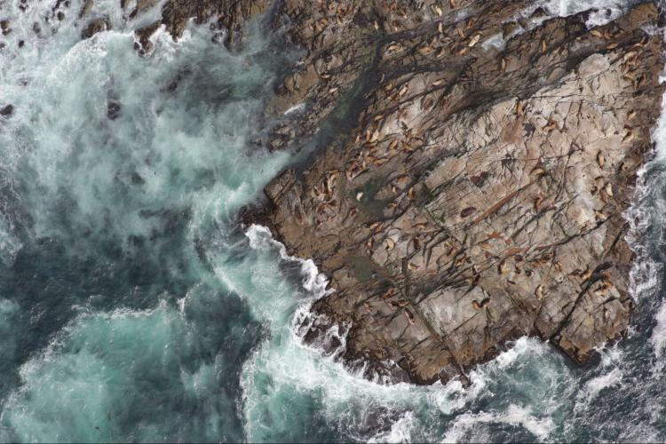 Aerial photo of Steller sea lions on rocks bordered by surf.