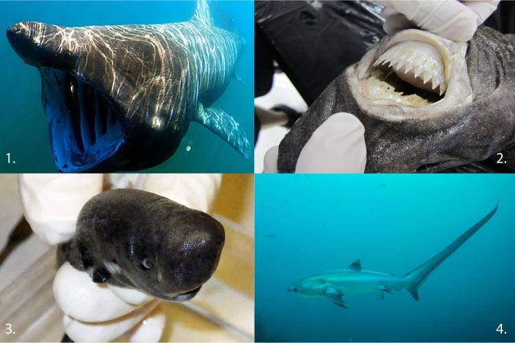 Four freaky looking sharks