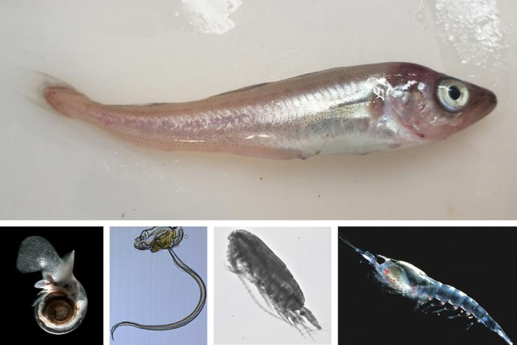 Composite image with juvenile pollock photo top, pteropod photo, larvacean illustration, copepod photo and euphausiid photo along the bottom.