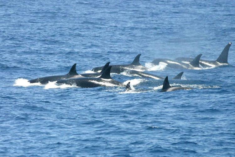 Killer whale pod at sea