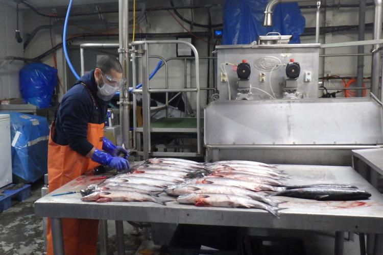 A fisheries observer samples salmon