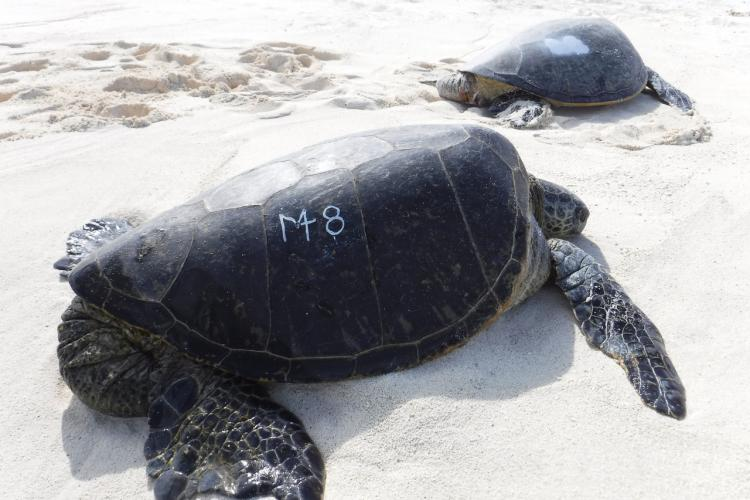 Sea turtle with white etched number on its shell on the beach.