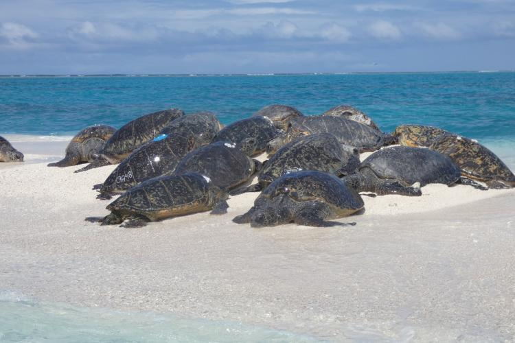 A group of large green sea turtles on the beach.