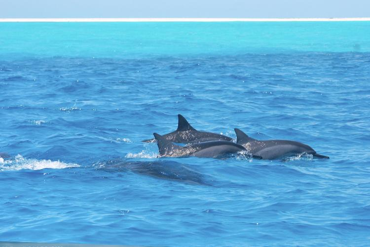 Three spinner dolphins swimming in the clear blue water.