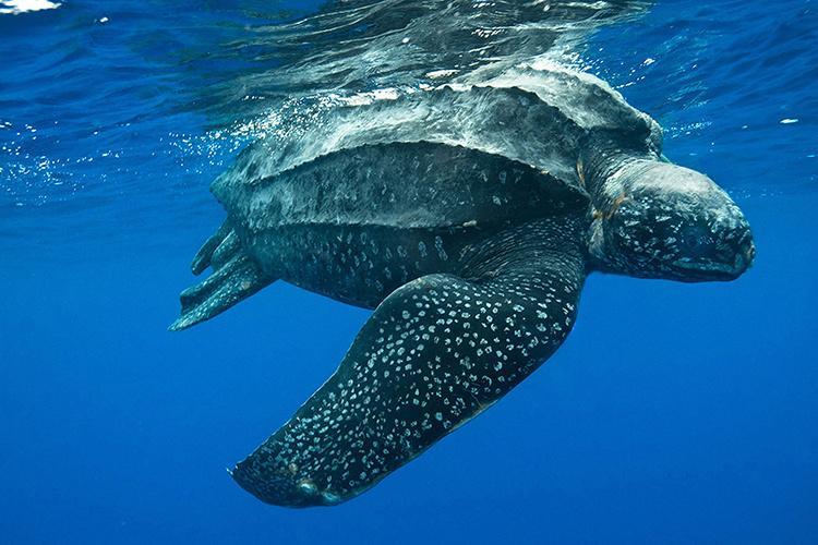 Close-up photo of a leatherback sea turtle swimming.