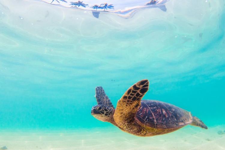 1280x800-hawaiian-green-sea-turtle-iStock_90093231-060816.jpg
