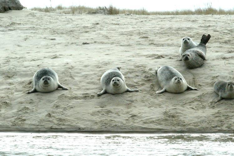 2334x1540-harbor-seals-chatham.jpg