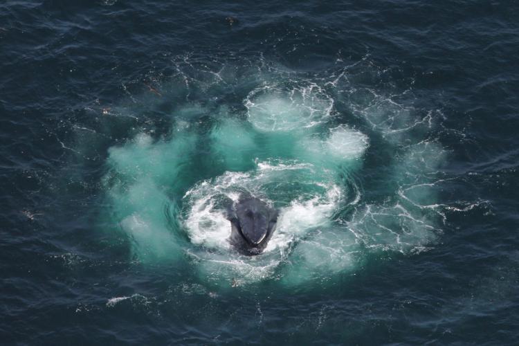 3326x2218_humpback_whale_bubble_feeding.jpg