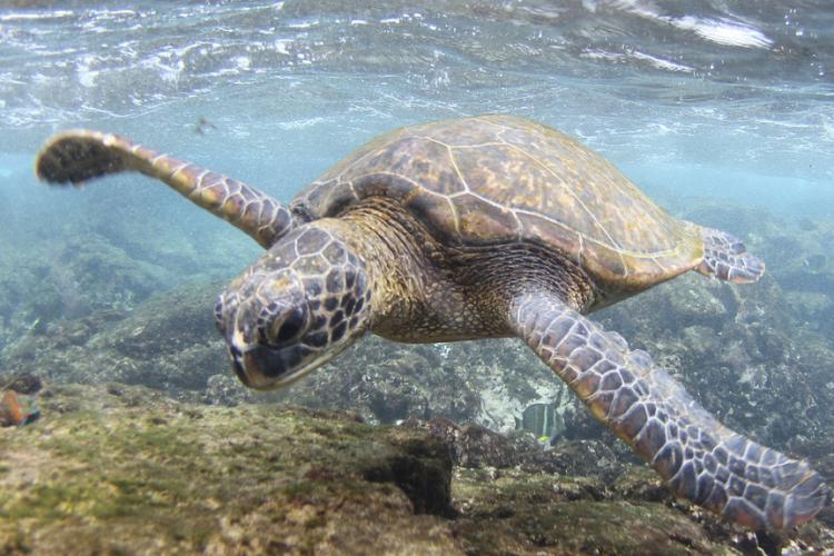 4392x1968-green-turtle-hawaii.jpg