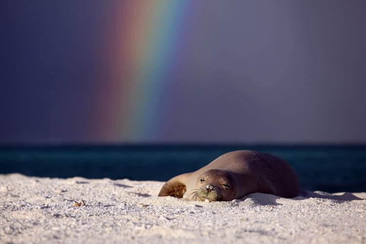 Monk seal resting on the beach with a rainbow in the background.