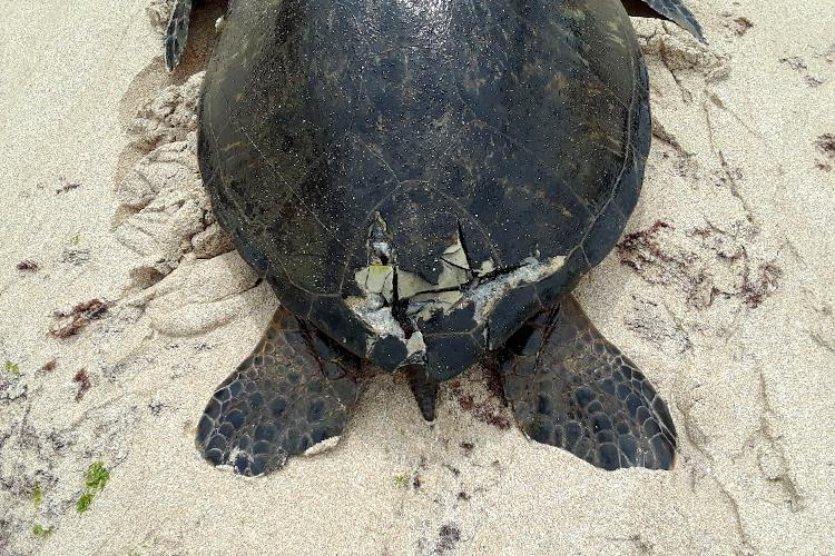 Injured green sea turtle with a cracked shell damaged from a boat.