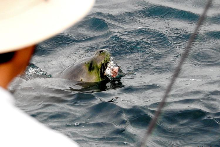 Fishermen and monk seal with fish bait in the species mouth.