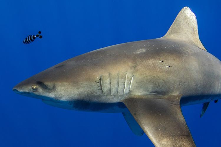 Shark with a whitetip fin swimming.