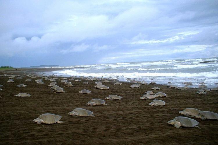 Numerous olive ridley sea turtles nesting on beach.
