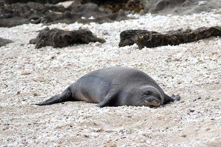 A weaned monk seal pup resting.