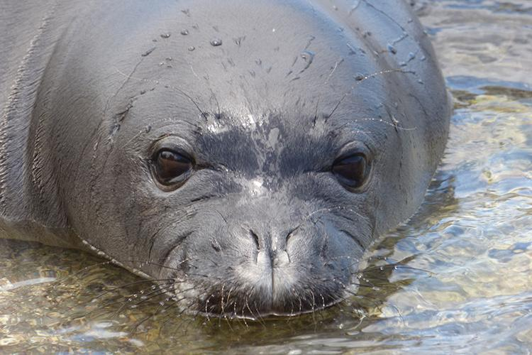 Close-up photo of a monk seal resting in shallow water.