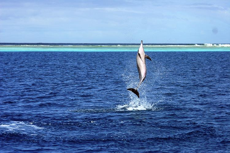 Spinner dolphin leaping above the water.