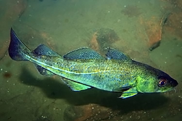 Atlantic cod is a groundfish, meaning it lives near the ocean floor.