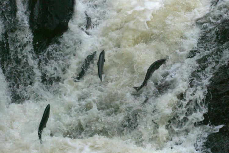 fish migration 1170x780 -fish leap up stream AK.jpg