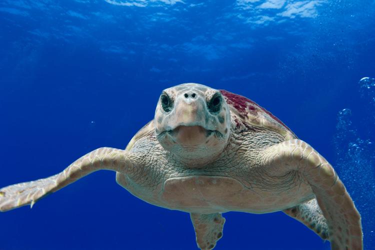 Galv_loggerhead_turtle_t._moore_noaa_via_wikimedia_750_500.png