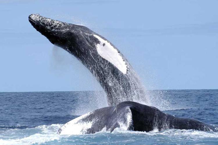 humpback-3.jpg