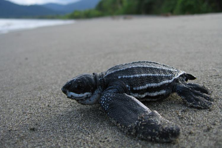 leatherback_turtle.jpg