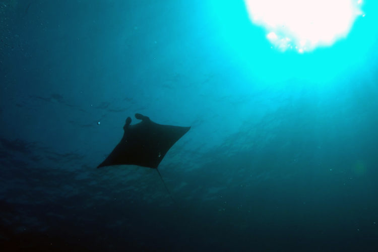 View on a manta ray from below in the ocean.