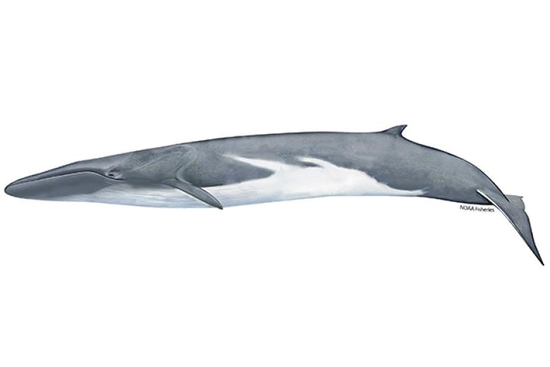 Illustration of fin whale.