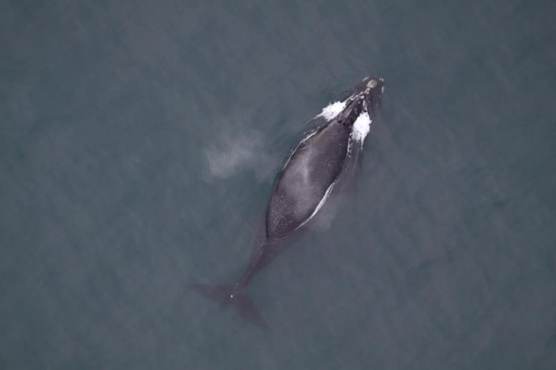 North Pacific right whale aerial photograph