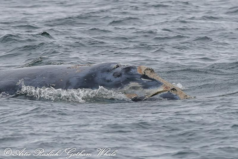 Entangled North Atlantic right whale at the surface, seen off of New Jersey on October 11