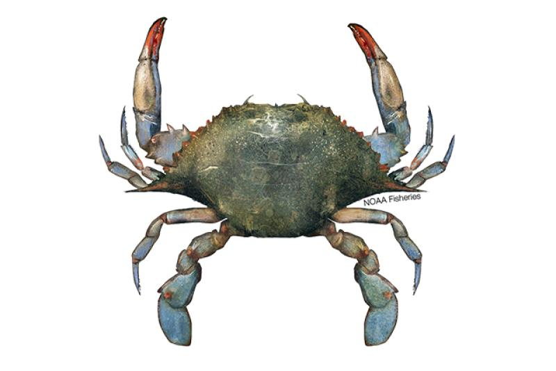 Blue crab illustration. Credit: Jack Hornady.