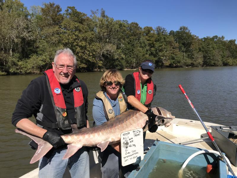 David Hood of the South Carolina Department of Natural Resources, and Fritz Rohde and Twyla Cheatwood of NOAA Fisheries, record measurements of the recaptured Atlantic sturgeon in the Pee Dee River. The fish measured 6 feet long, and weighed 90 pounds.