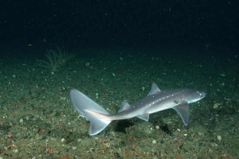 Spiny dogfish are a small species of shark.