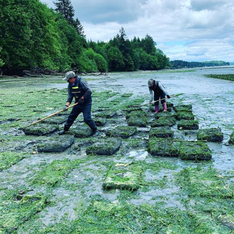 Two employees use rakes to clean algae off of oyster bags.