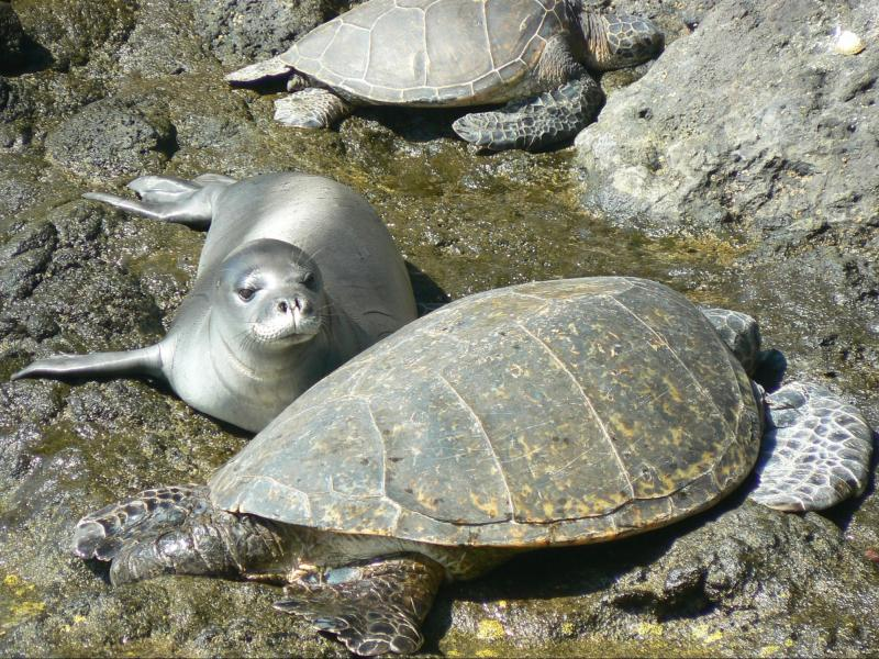 Picture of Green sea turtles and a Hawaiian monk seal at Mokumanamana.