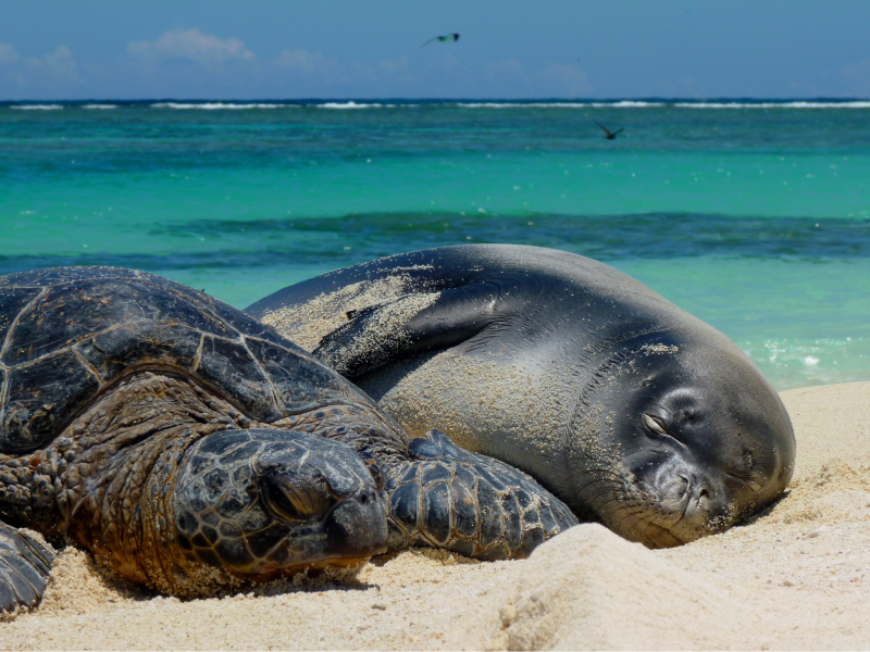 Picture of turtle and monk seal sleeping on a beach.